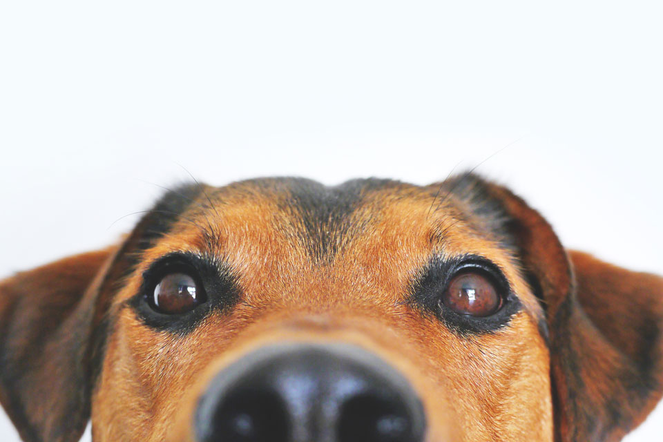 Dog peeking out, American Carpet One Floor & Home, Hawaiian Humane Society, Sit Stay and Save Adoption Event